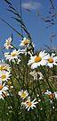 Happy daisies by John Keates