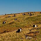 Herd of Belted Galloway, Scotland  by Clare Gelderd