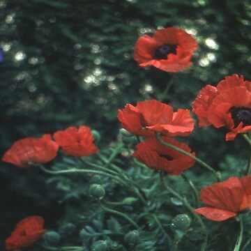 Poppies by robelf