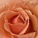 Peach Rose with Raindrops by jacqi