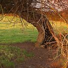 Gnarled Old Tree by kernuak