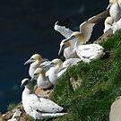 Gannets at Cape St. Mary by DebYoung