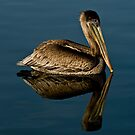 Pelican Reflection by socalgirl