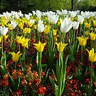 The Tulips - White and Yellow by Arvind Singh
