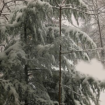 Snow Covered Pine Tree by bloomingvine