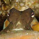 Common Sydney Octopus - Octopus tetricus by Andrew Trevor-Jones