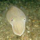 Mourning Cuttlefish by Andrew Trevor-Jones