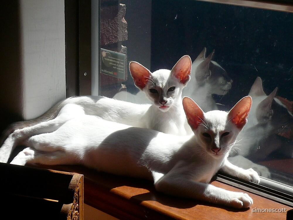 My Siamese cats Misha & Maya by simonescott