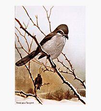 Northern Shrike Bird Photographic Print