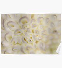 Flower: Ping Pong Chrysanthemums Poster