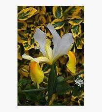 Beautiful Iris. Photographic Print