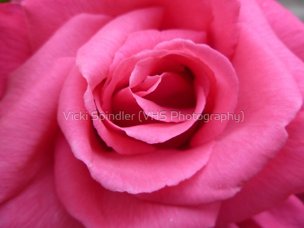 Gorgeous Pink Rose by Vicki Spindler (VHS Photography)