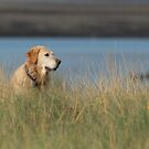 Megan, 7 year old golden retriever on Bannow Island, County Wexford, Ireland by Andrew Jones