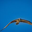 Osprey giving me the Evil Eye by TJ Baccari Photography