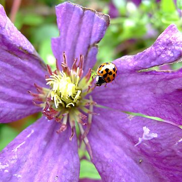 Clematis and ladybird  by smapics