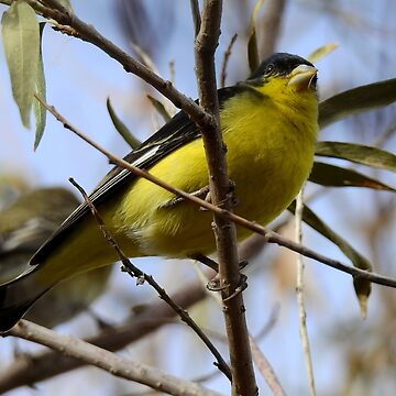 Finch in the Branches by elaine226