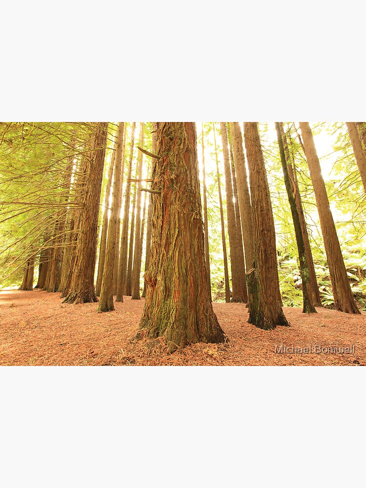 Californian Redwoods, Otways National Park, Australia by Chockstone