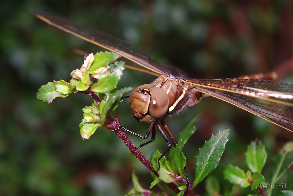 Dragonfly by Kerry  Hill