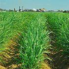 Bundy Sugar Cane by Penny Smith