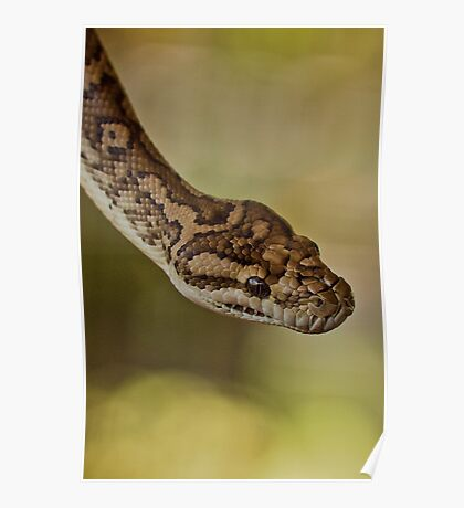 Snakes Alive - carpet python Poster