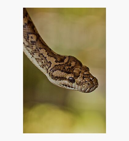 Snakes Alive - carpet python Photographic Print
