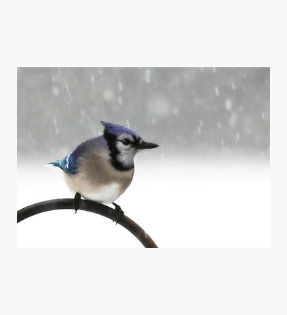 Blue Jay in a Blizzard Photographic Print
