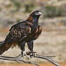 Wedge-Tailed Eagle by Clive