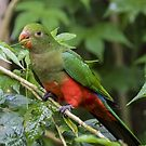 Australian King Parrot by Clive