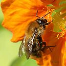 Bee on Nasturtium by Gilberte