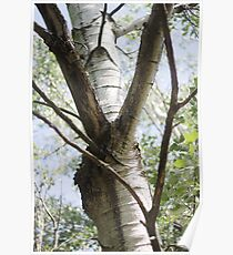 Graceful Birch Poster