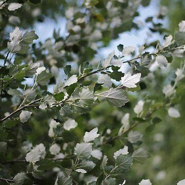 Shimmering Poplar by photolodico