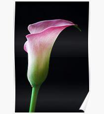 Simply a Calla Poster