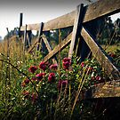 Fence and Wild Roses by G. David Chafin