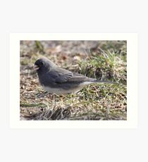 Slate-colored Junco Art Print