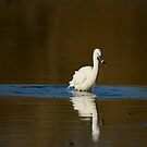 Success! Little Egret fishing, Lago di Alviano, Umbria, Italy by Andrew Jones