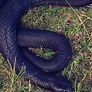 Tiger Snake by diveroptic