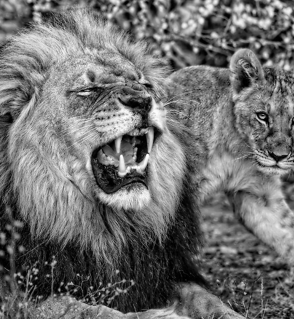 Black Maned Lion of the Kalahari and Cub in Black and White by Kay Brewer