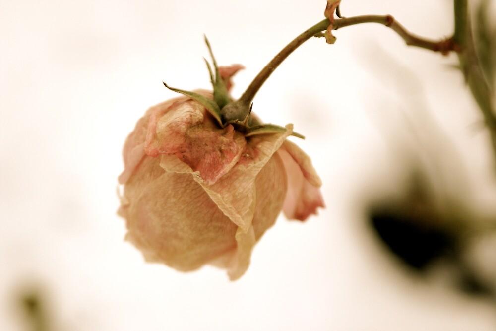 Wilting pink rose by Richard Pitman
