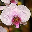Orchid by ECH52