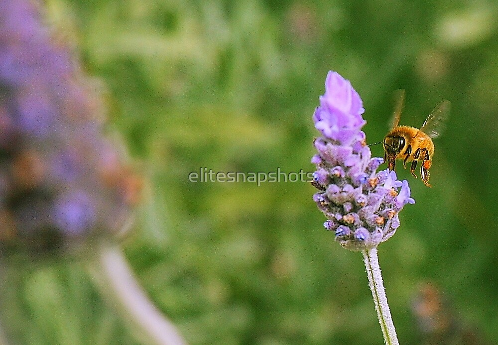 Bumble Bee on Lavender by elitesnapshots