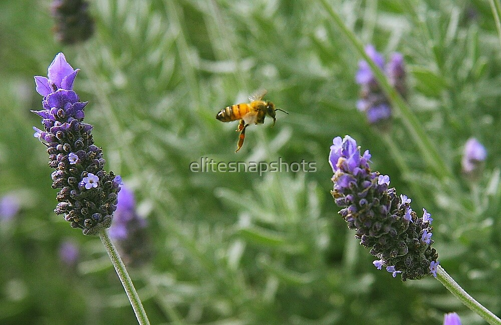 Bumble Bee on Lavender by elitesnapshots