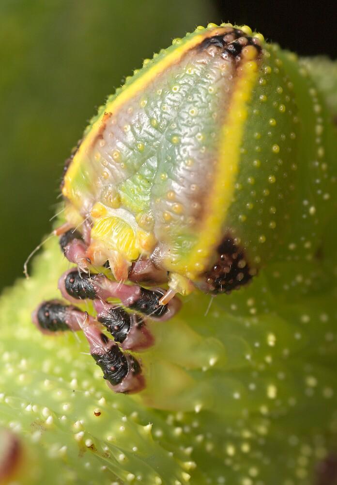 Poplar Hawk-moth (Laothoe populi) caterpillar by DavidKennard
