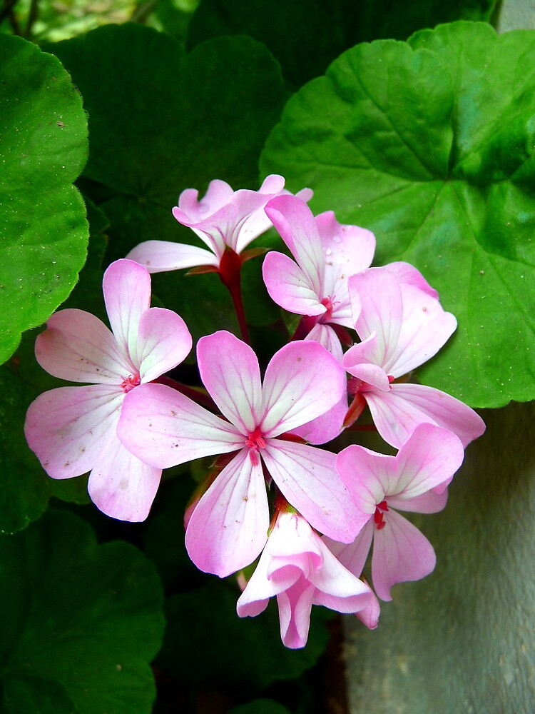 Brazilian Pink Flowers by atoth