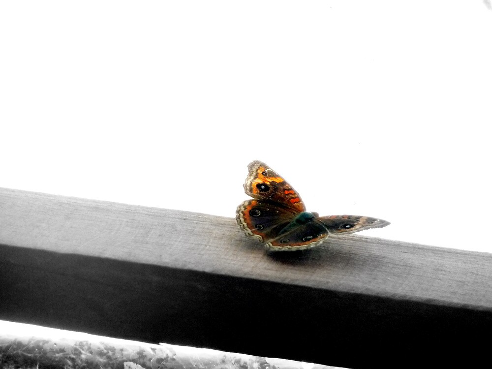 Brazilian Butterfly  by atoth