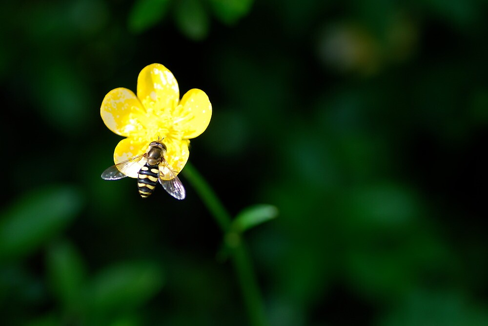 Bee on a Buttercup by Octoman