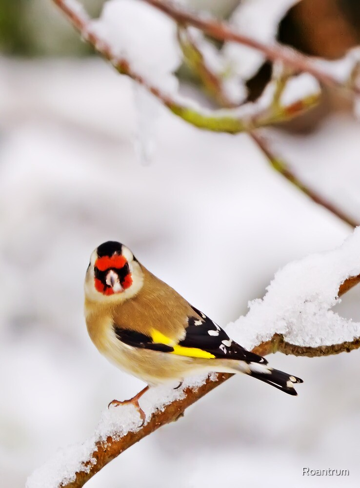 A Goldfinch in the Snow by Roantrum