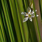 Milkweed flower by Dacunto-Ben