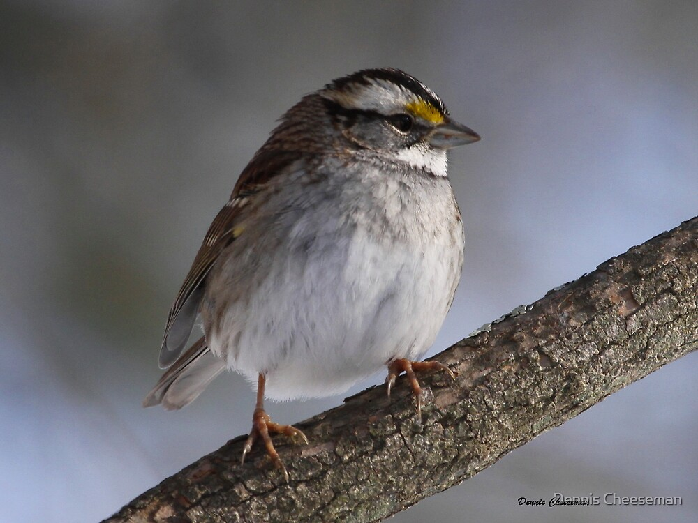 White-throated Sparrow by Dennis Cheeseman
