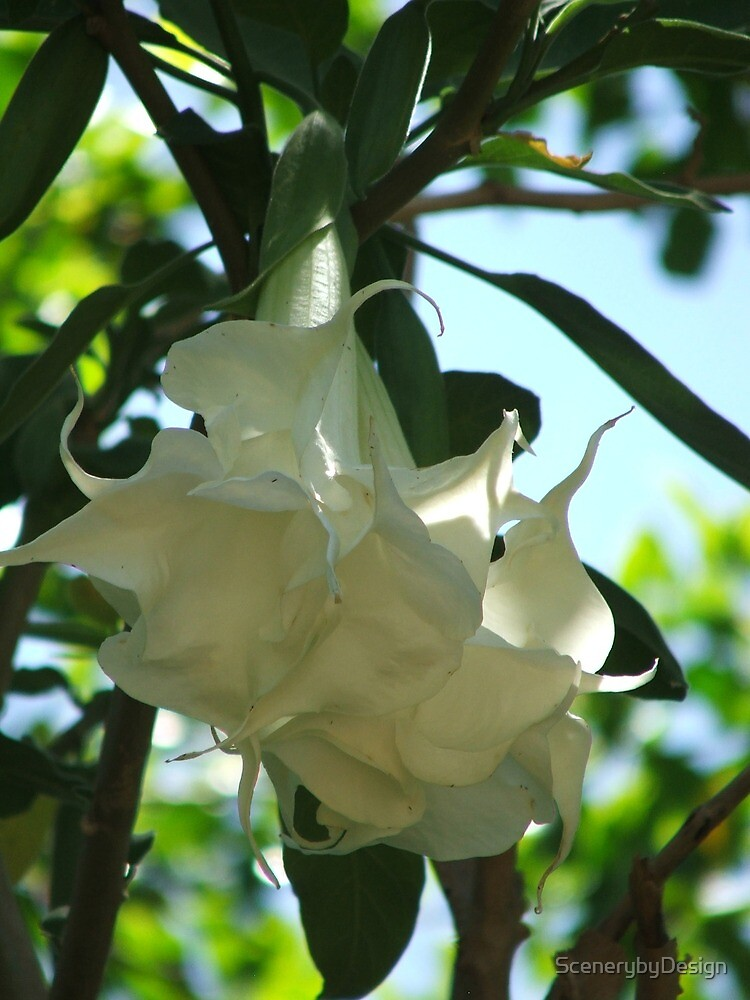 White Trumpets by ScenerybyDesign