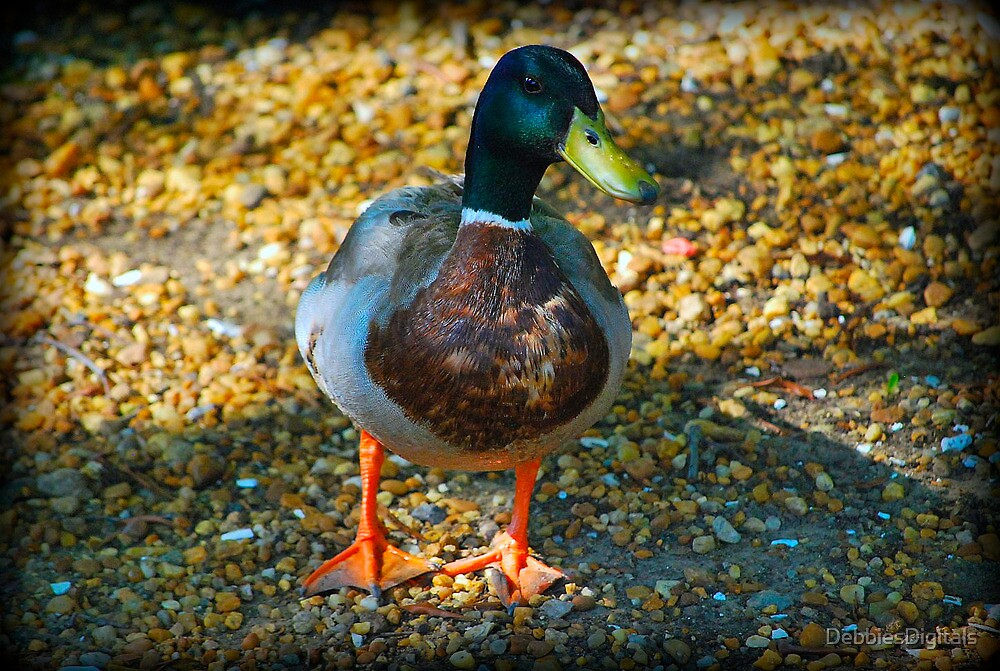 Mallard duck by DebbiesDigitals